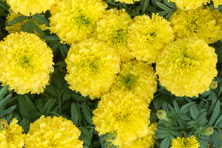 wedding flowers: Yellow Marigolds Flower on top view