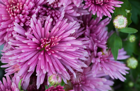 daisy: closed up of vivid pink chrysanthemum flower