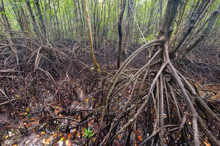 mangroves: Mangroves forest plantation in Chanthaburi Province, Thailand