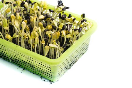 germinación: Brote amarillo del girasol aislado en el fondo blanco, el foco selectivo y el espacio de la copia. Foto de archivo