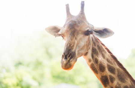 Head of giraffe on white sky. Stock Photo