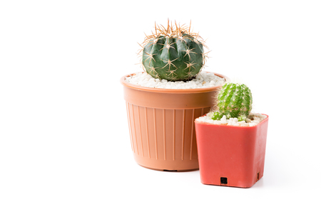 cactus in small pot isolated on white background.