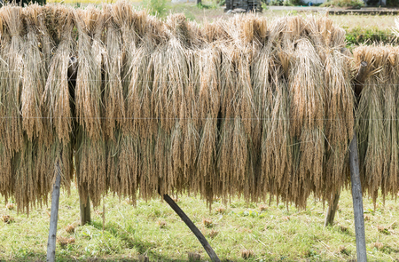 hung: Bundles of japanese rice stalks hung out to dry in Japan Stock Photo