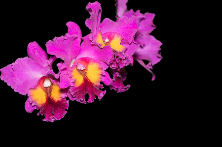 Hybrid vivid pink cattleya orchid flower isolated on black background Stock Photo