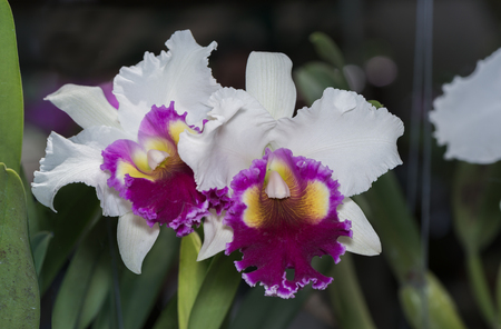 hybrid white and pink Cattleya orchid flower on dark tone