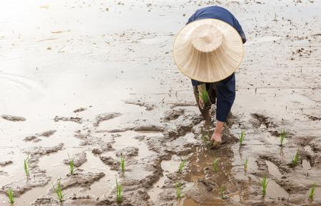 transplanting: Thai farmer transplanting rice seedlings in paddy field,  jasmine rice in Thailand.