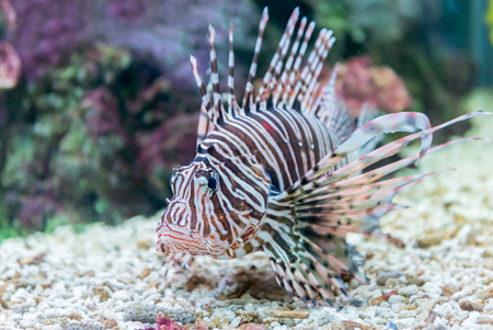 zebrafish: beautiful lionfish (Pterois miles) portrait. Stock Photo
