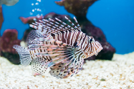 beautiful lionfish (Pterois miles) portrait. Stock Photo
