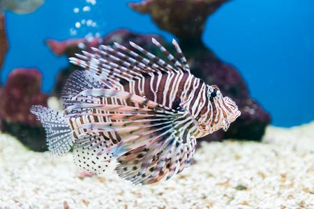 scorpionfish: beautiful lionfish (Pterois miles) portrait. Stock Photo