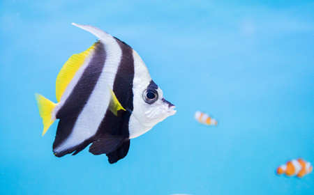 chaetodontidae: black and white color butterfly fish on blue background.