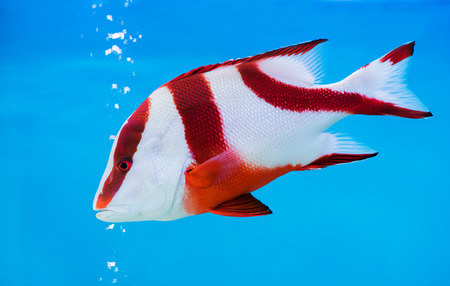 Kaiser rote Schnapper Fisch auf blauem Hintergrund, Schöne Seefische.