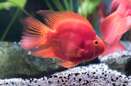 red blood parrot fish in Thailand, fresh water fish.