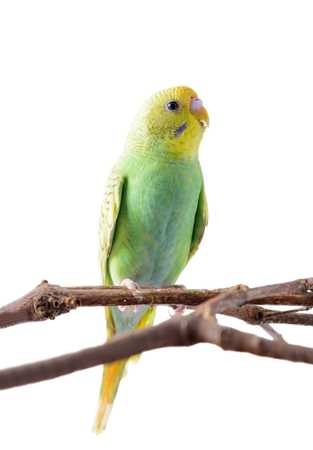 yellow and green Budgerigar (Melopsittacus undulatus). colorful bird isolated on white background. Reklamní fotografie
