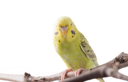 periquito: pájaro amarillo del Budgerigar (Melopsittacus undulatus). colorido pájaro aislado en fondo blanco enfoque selectivo