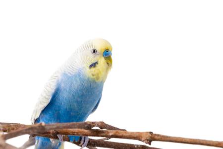 Blue Budgerigar (Melopsittacus undulatus). colorful bird isolated on white background.