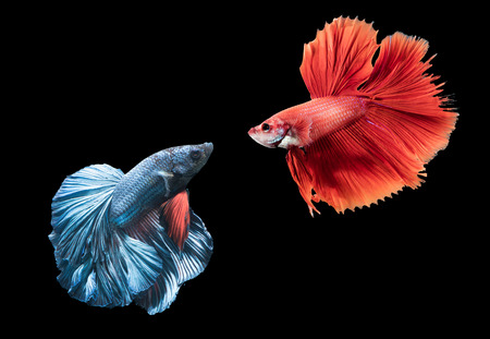 freshwater fish: Aciton fighting between blue and red siamese fighting fish, betta splendens isolated on black background.