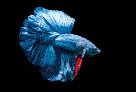 blue siamese fighting fish, betta splendens isolated on black background