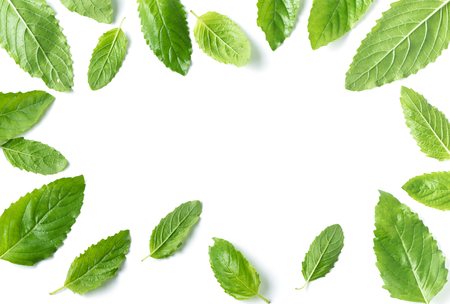 Holy basil , Ocimum sanctum leaf isolated on white background with copy space for text.