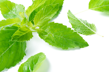 Holy basil leaf isolated on white background, It is cultivated for religious and medicinal purposes for its essential oil and a herbal tea..