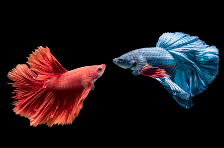 betta: Aciton fighting between blue and red siamese fighting fish, betta splendens isolated on black background.