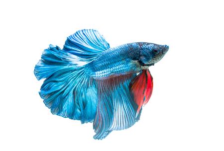 샴 싸우는 물고기, 흰색 배경에 고립 된 betta splendens, 그것은 수족관 물고기로 인기입니다. 스톡 콘텐츠