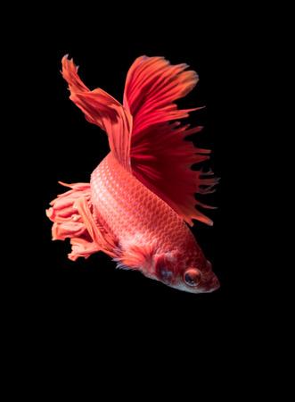 dragon swim: red siamese fighting fish, betta splendens isolated on black background.