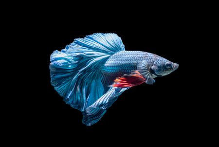blue siamese fighting fish, betta splendens isolated on black background, it is popular as an aquarium fish.