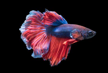 Betta splendens, beautiful fighting fish isolated on black background, fish fresh water in Thailand. Stock Photo