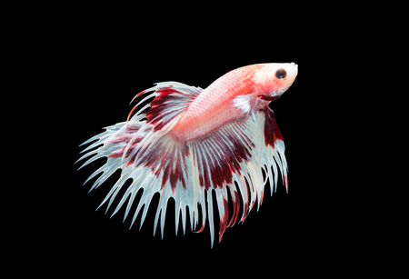betta: Macro photo of Siamese fighting fish ( white and red crown tails fighting fishs), betta splendens isolated on black background, animal concept.. Stock Photo