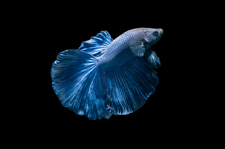 blue siamese fighting fish, betta splendens isolated on black background..