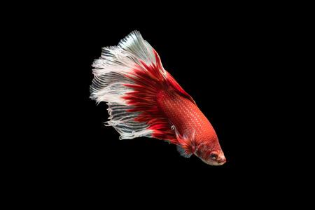 dragon swim: Beautiful red with white siamese fighting fish, betta splendens isolated on black background.