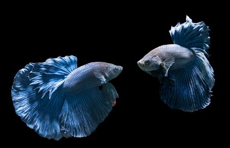 Emotion of blue siamese fighting fish, betta splendens isolated on black background.