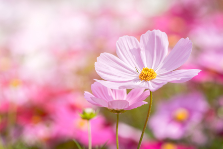 piękny różowy kwiat kosmosu w ogrodzie, pastelowy odcień