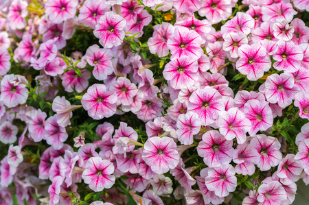 closed up of beautiful pink Petunia Hybrida flower in garden Stock Photo