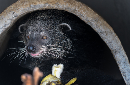 Asian Palm Civet: Product of Luwak Coffee and the world most expensive coffee..