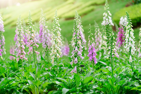 Digitalis or foxglove with mauve flowers with purple spots. Amazing flower background at Da lat garden vietnam. Imagens