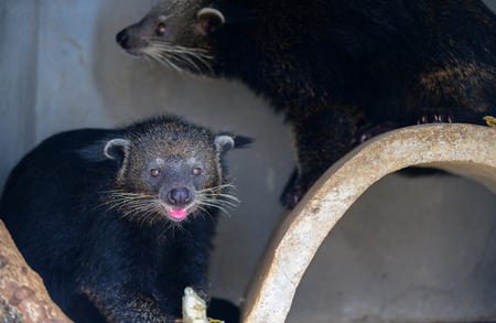 Asian Palm Civet: Product of Luwak Coffee and the world most expensive coffee.