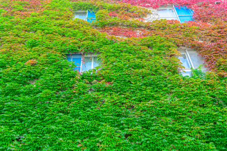 Autumn creeper plant on building in Hokkaido, Japan. Banque d'images