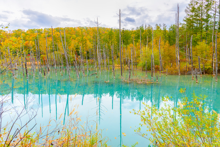 Blue pond (Aoiike) in Biei, Hokkaido Autumn season, It is the result of works on the Biei River, carried out after the 1988 eruption of Mount Tokachi. 版權商用圖片