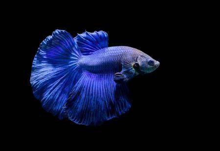 Blue siamese fighting fish, betta splendens isolated on black