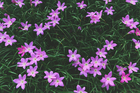 Zephyranthes grandiflora pink flowers or Fairy LilyRain LilyZephyr Flower in garden, top view and Vintage tone for flower background. Фото со стока
