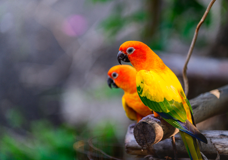 Beautiful colorful Pair Lovebirds parrots on branch. Colorful Love parrot couple. 写真素材