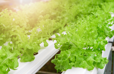 Green oak lettuce salad vegetable in hydroponic farm system plants on water without soil with sun light; organic food for good health.