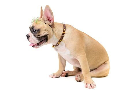 cute french bulldog wear glasses and sitting isolated on white background, pet and animal concept. 免版税图像