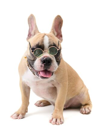 French bulldog wear glasses and sitting isolated on white