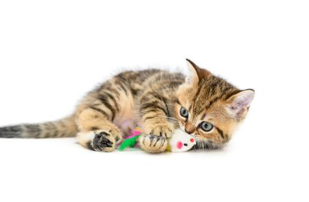 Cute Scottish fold kitten playing with a toy isolated on white