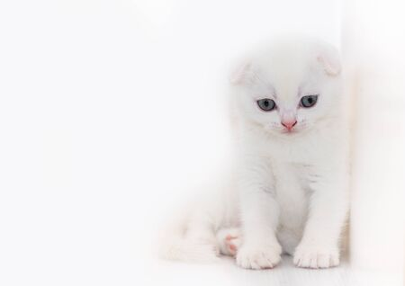 Cute white Scottish fold kitten sitting on white  with copy space, pet concept.