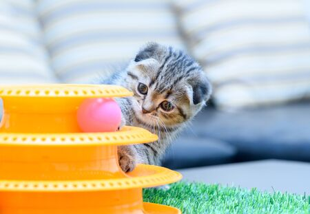 Cute Scottish fold kitten playing with a toy, Healthy pet concept. Stock Photo