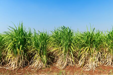 sugar cane field with blue sky background, Product of sugar Stockfoto