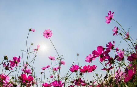 Schöner rosa Kosmos mit Sonnenlicht auf Hintergrund des blauen Himmels, Sommerblumenhintergrundkonzept